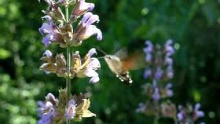 Hummingbird (butterfly) on Salvia officinalis