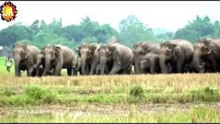 देख लो यही है दुनिया का सबसे बड़ा हाथी का झुण्ड I