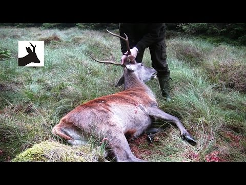 First red stag of the season 2011. Scotland. Deer stalking / hunting / shooting.