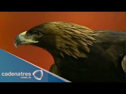 La belleza del águila real
