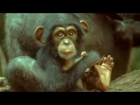 Cutest baby Chimp - early learnings - Attenborough: Trials of Life - BBC