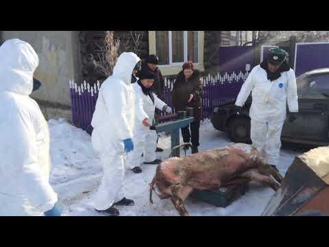 В с.Шорохово (тюм.обл) обнаружили африканскую чуму свиней