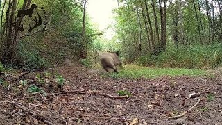 Magnifique Tir Sanglier Battue sologne chasse le 04/09/2016 avec 2 Caméra