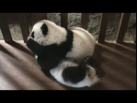 Así juegan los osos panda   Zoo Madrid