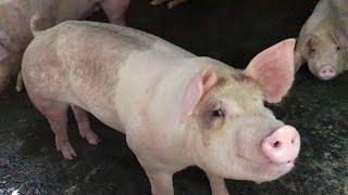Con lợn éc , con lợn con | Nhạc thiếu nhi vui nhộn giúp bé mau ăn | Music Kid Funny