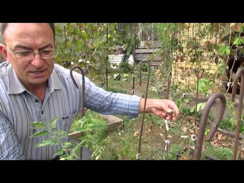 Омоложение старых кустов смородины