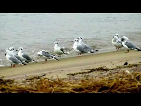 Bonaparte's Gulls - October 16, 2013