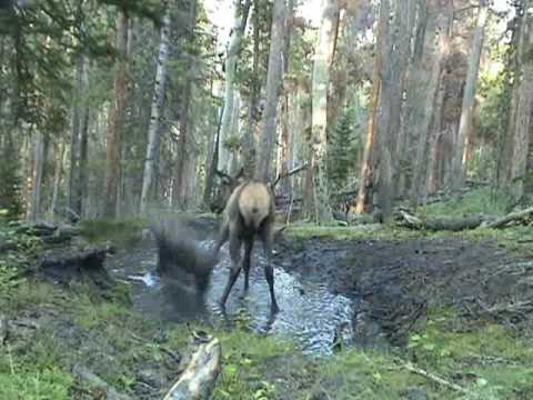 Elk Calf plays in the puddle! Video