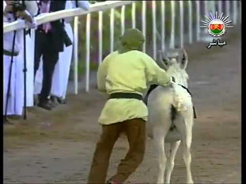 سباق الحمير و ضحك القابوس ومحمد بن زايد