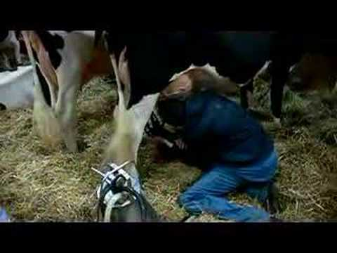 Cowboy Sucking Milk From A Cow - Super Bowl video