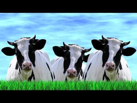 Drole de vache qui parle vache qui chante et vache qui pete youtube - Photo de vache drole ...