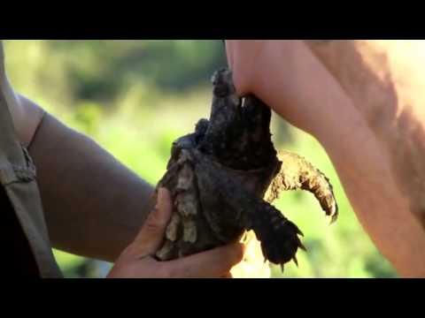 Jackass 3.5 ( La Tortuga Caimán ) Audio Latino ( Hd ) video