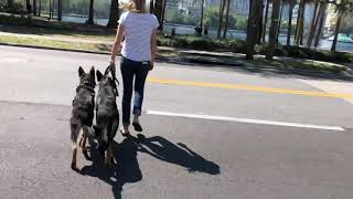 GSD Puppies Head To Downtown Orlando