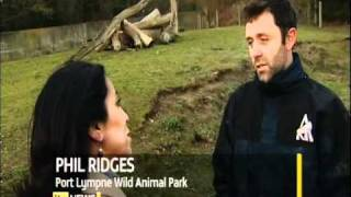 AMBAM THE WALKING GORILLA!!! ITV News report (Jan 27th 2011)