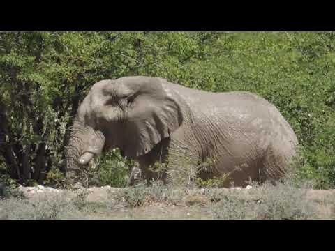 African Elefant at Etosha Namibia