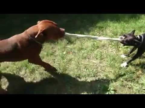 Boston Terrier on steroids vs Pitbull!!