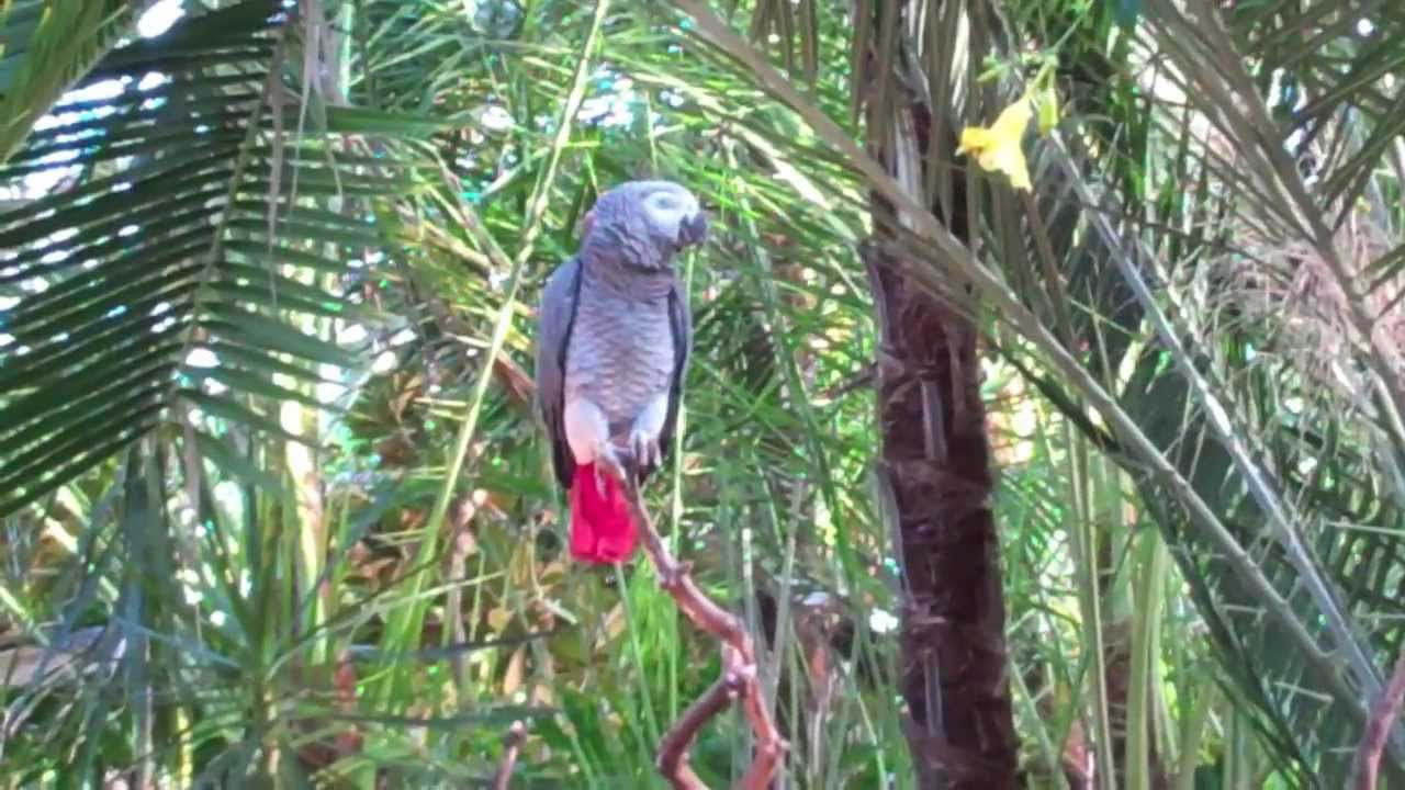 African Gray Parrots Gray Parrot-red Tailed