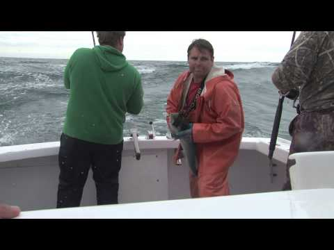 Fishing: Aggressive, Trashing, Tail walking Bluefish on Cape Cod