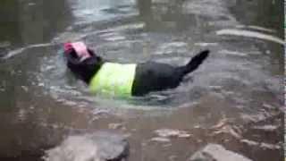 Cachorro vira cão-guia de labrador cego