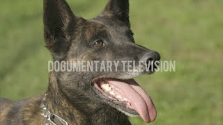 DUTCH SHEPHERD WHITEBOY SHOWS OFF HIS AMAZING ATHLETICISM