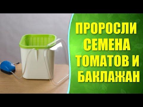 🍅🍆 Как проросли семена томатов и баклажан в проращивателе. Проращивание томатов и баклажан.