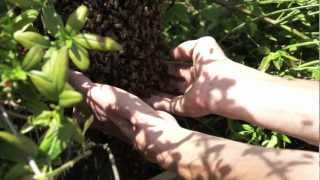 Moving a Honey Bee swarm with bare hands