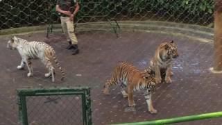 download lagu Tiger Show Taman Safari Indonesia gratis