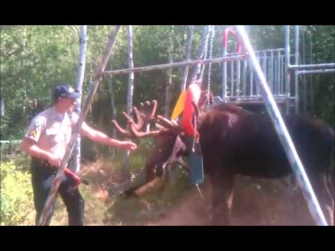Sergeant helps a Moose that is stuck in swingset.wmv