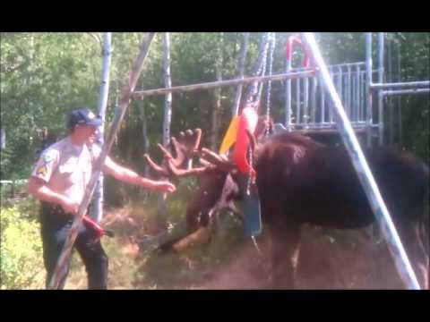 Sergeant helps a Moose that is stuck in swingset.wmv