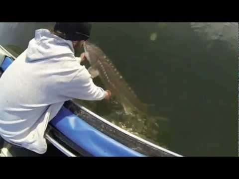 Great River Fishing: Fraser River Giant Sturgeon Fishing