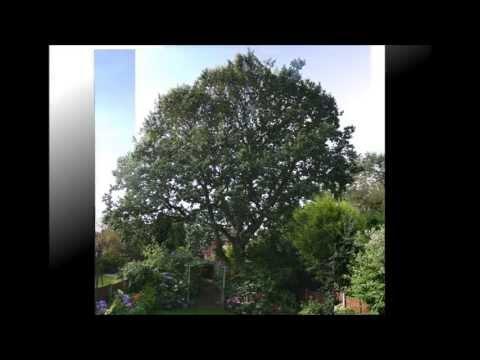 Reduction Via Thinning, Oak, Stockport Cheshire. Tree Morphogenesis (by Cheshire Tree Surgeons)