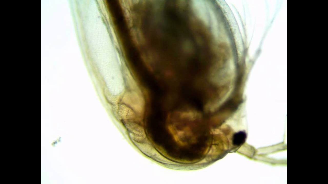 an experiment to determine the pregnancy of daphnia magna Temperature affects the metabolism of daphnia, because they are cold-blooded animals consequently their body temperature will be the same as the temperature of the water they are floating in the chemical reactions that occur in the cells of daphnia are dependent on certain enzymes, or proteins, to help the reactions proceed.