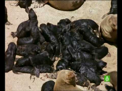 Documental. Osos marinos y leon marino Homenaje a las madres del mundo animal 1/17