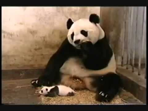 Panda afraid of her baby - very funny