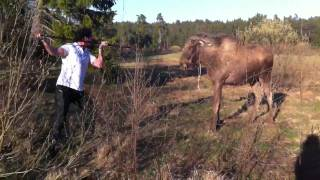 man vs moose in sweden (the original)