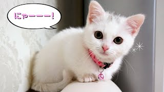 お腹が空いたと鳴く子猫マンチカン The Munchkin kitten cry when she is hungry.