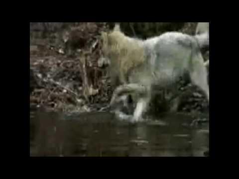Александр Розенбаум -  Охота на волков  (с хорошим звуком сделал)