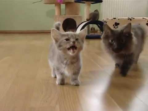 Cute munchkin baby kitten talks too much