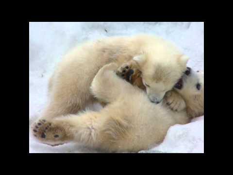 ホッキョクグマ ララと双子の赤ちゃん Polarbear (2009年3月26日)
