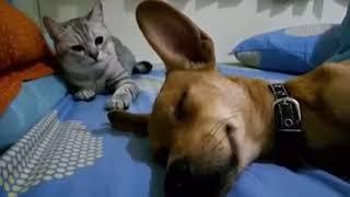 Dog Sleep Farting Makes Cat Angry