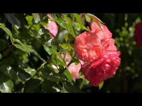 Beautiful Nature: Blooming Flowers, Trees, Leaves and Birds Tweeting in 4K (UHD)