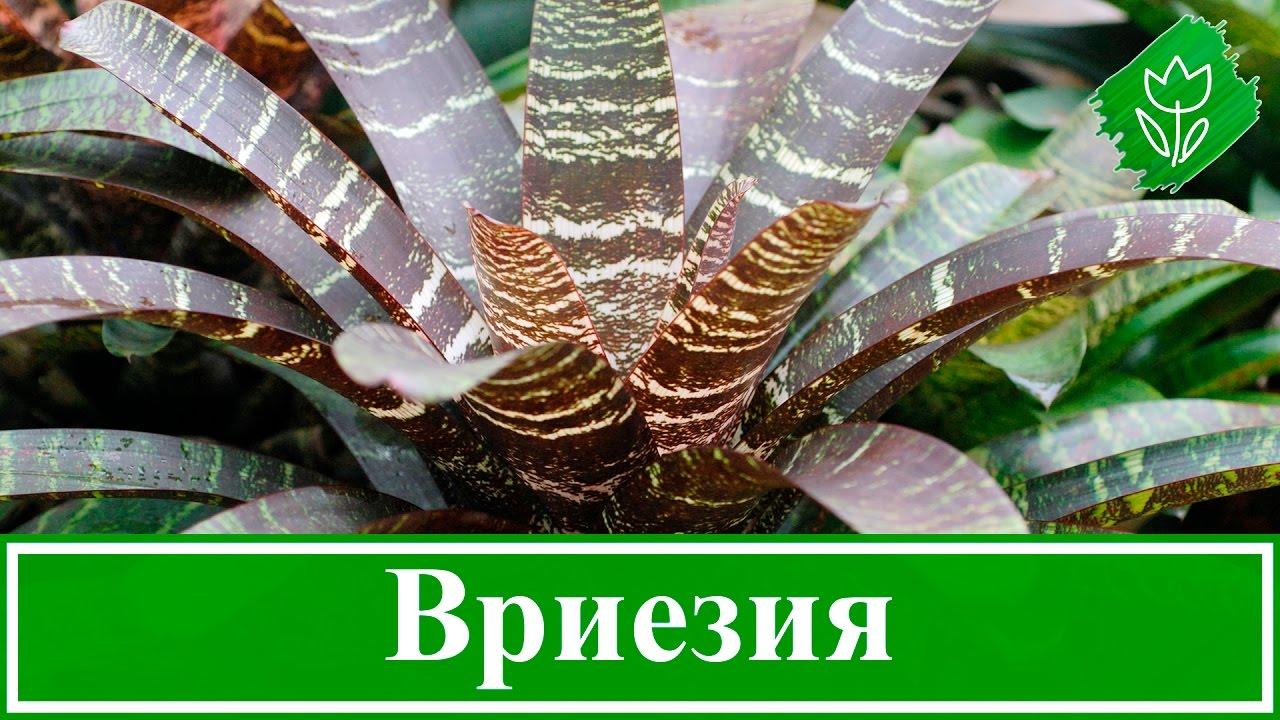 Вриезия уход и выращивание в домашних условиях 54
