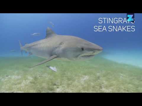 Tiger sharks are deadly garbage disposals of the sea
