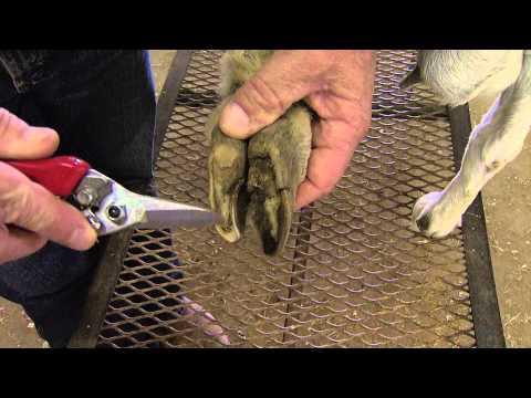 обработка коз от паразитов