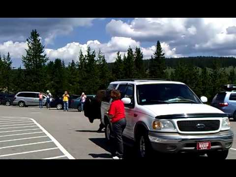 Bison in Yellowstone Parking Lot Near Mud Volcano