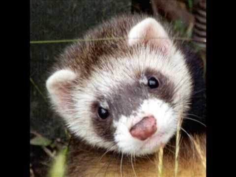 Monty Python - The Ferret Song