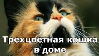 ПРИМЕТЫ ПРО КОШЕК. Трехцветная кошка в доме.