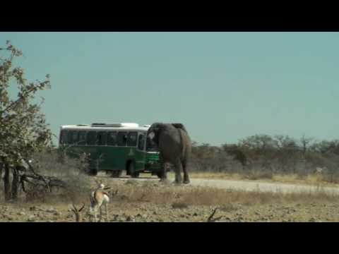 Elephant Charging Bus in Etosha National Park Namibie