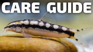 Dwarf Chain Loach Care - Ambastaia sidthimunki Care. School of small loaches eat snails planted tank
