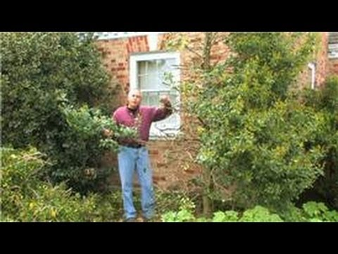Gardening How To Prune Hollies Youtube